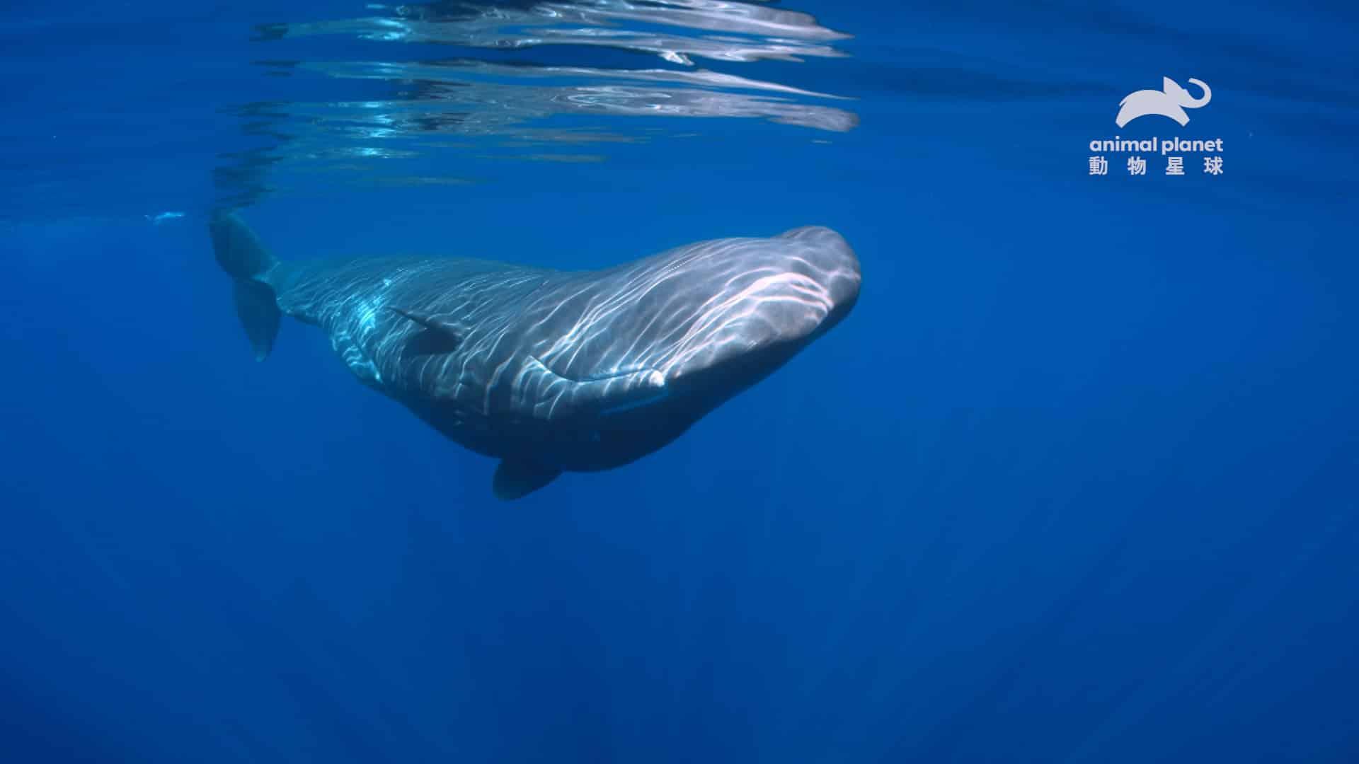 抹香鯨是世界上最大的齒鯨,牠一天只花 7_的時間在睡覺,睡眠時間比其他哺乳類都還要少。