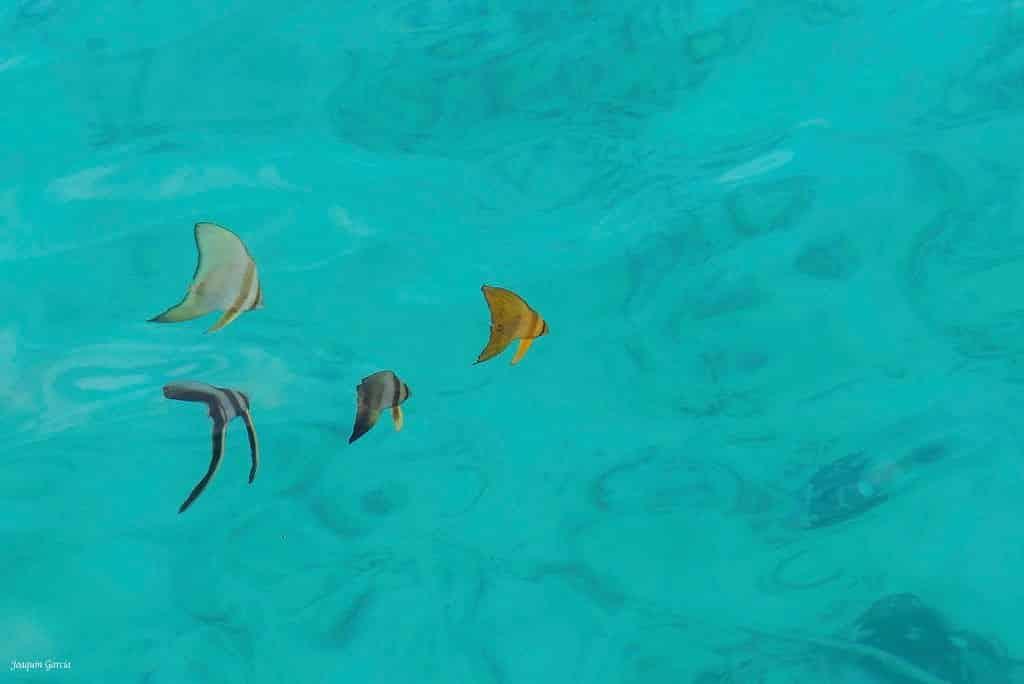 燕魚分類 海洋博物誌