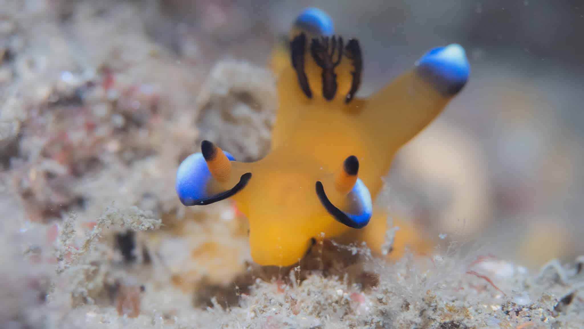 海洋博物誌 太平洋角鞘海蛞蝓 皮卡丘