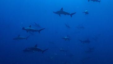京太郎,日本潛水,沖繩潛水,神子元,鎚頭鯊,鎚頭鯊風暴,御藏島海豚