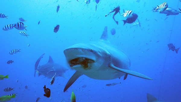 斐濟 潛水 虎鯊 tiger shark diving scuba