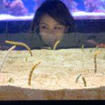 """欣賞完夜店風的水母區之後,迎接而來的就是數面直立式魚缸的珊瑚礁區,這裏最可愛的無非就是呆呆萌萌的花園鰻,海編覺得奇怪的是,為何潛水只要一靠近花園鰻就會害羞的躲進沙中,但透過魚缸的觀察卻可以""""非常近距離""""的觀察他們,超級可愛的啦!其實一旁還有一個小海龜在馬尾藻長大的生態復育池,希望有朝一日他可以前往等等會介紹的『東京大水槽』暢快游泳。"""
