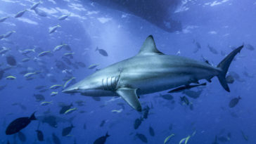 馬爾地夫 四方線 深南線 虎鯊 虎鯊潛水 Manta 揪潛水 j&jhome