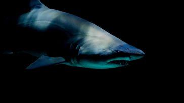 鯊魚,大白鯊,混獲,漁民